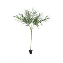 Areca palma s velkými listy, 180 cm